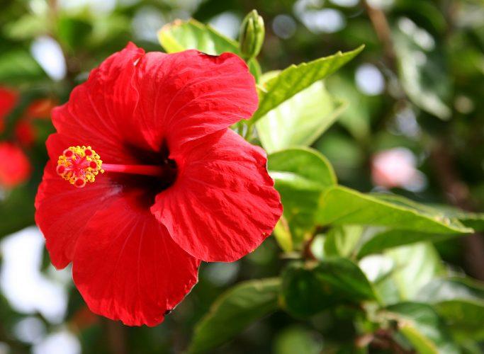 गुड़हल के फूल के इन 6 फायदों को नहीं जानते होंगे आप