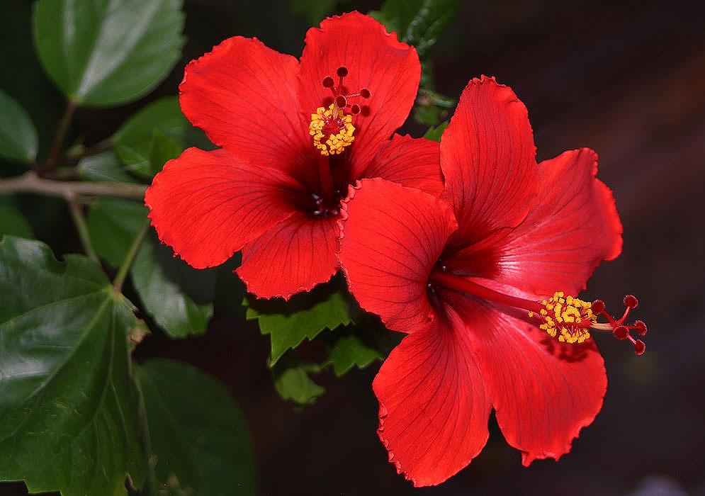 गुड़हल के फूल से खत्म हो जाते हैं ये घातक रोग, जानें जरूर
