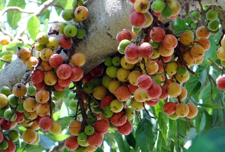 गूलर एक ऐसा फल जो आपकी सामान्य बीमारी को कर देगा ठीक, जानें इसके हैरान करने वाले फायदे