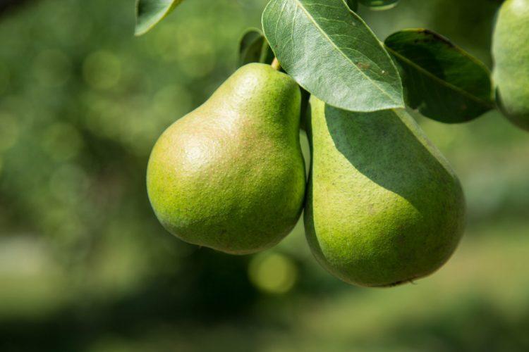 नाशपाती है सभी फलों का बाप इसके फायदे जानकर चौंक जाएंगे आप