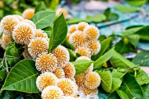 एलर्जी, कब्ज और मुँह के छाले का दुश्मन है ये फल, इसके बेशुमार फायदे हैरान कर देंगे आपको